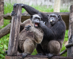 Common Chimpanzee sitting next in love.