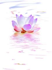 lotus bleu aquatique