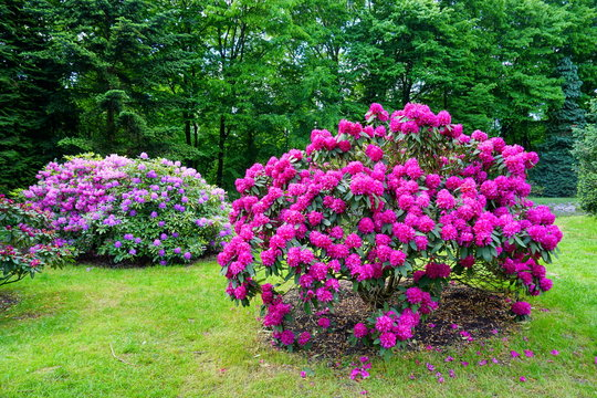 Beautiful blooming azalea - rhododendron (Rhododendron) - beautiful green areas of the city