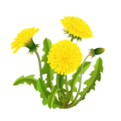 Dandelion bush realistic isolated. Spring fluffy yellow flower with leaves and stems. Vector illustration