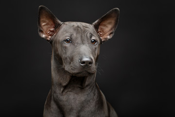 beautiful thai ridgeback puppy