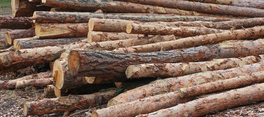 Bois coupé en forêt
