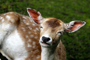 Female fallow deer (dama dama) on the meadow