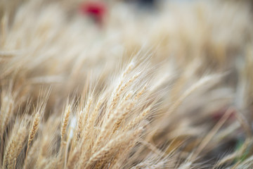 Wheat field with blurred background
