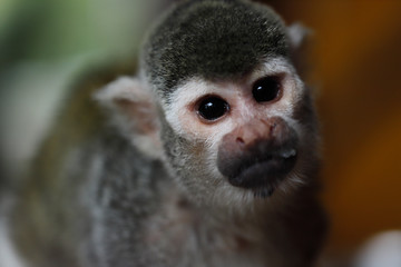 Portrait of saimiri squirrel monkey