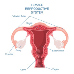 Female reproductive system vector illustration