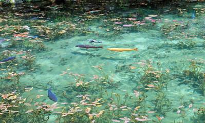 モネの池 錦鯉