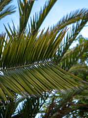Palm leaf hanging from a tree on a tropical day