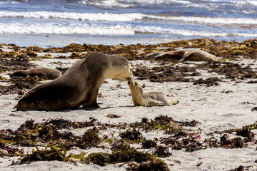 Australian sea lions, mother and baby (Neophoca cinerea) on Kangaroo Island coastline, South Australia , Seal bay