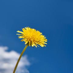 gelber Löwenzahn vor blauem Sommerhimmel