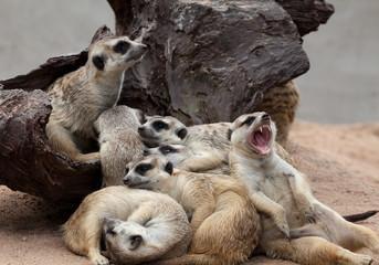 Warm Meerkat family.