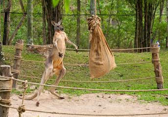 Kangaroo boxing.