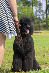 black poodle in the Park