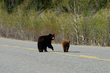 Black bear and her cub crossing the road