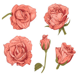 Set of roses: pink, red flowers and buds on white background. Botanical illustration for design, hand draw sketch in engraving vintage style, collection for design, vector