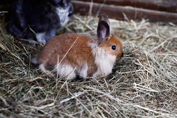 White-brown-grey domestic pygmy rabbit