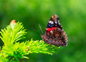 beautiful butterfly on young coniferous needles on green natural background