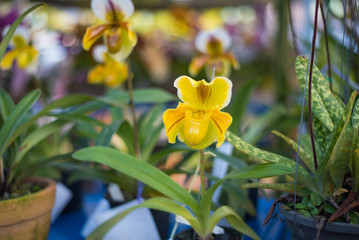 Lady's Slipper orchid flower ( Paphiopedilum ) yellow colour in the garden