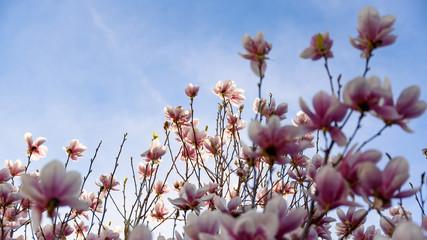 Magnolia pink blossom tree flowers