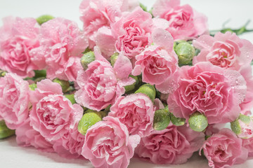Pink carnations isolated on white background