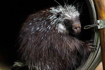 Portrait of common North American porcupine (Erethizon dorsatum), New World porcupine family.