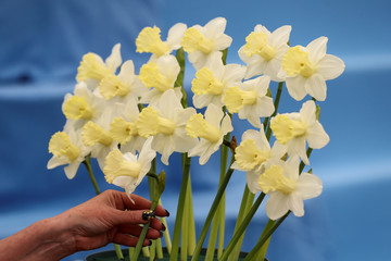 A worker adds daffodils to a display as she prepares for the RHS Chelsea Flower Show in London