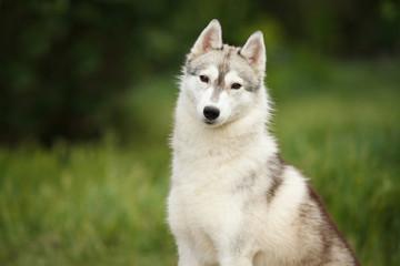 beautiful portrait of a Siberian husky dog on green grass