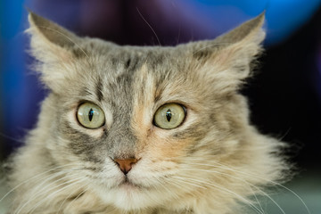 Cat close up portrait on alert ears up with dark blue bokeh background