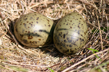 Black-legged Kittiwake egg