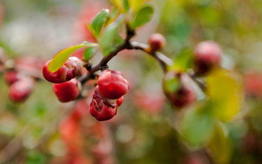 red, fruit, berry, nature, tree,