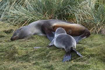 Fur Seal Pup Nursing, South Georgia Island, Antarctic