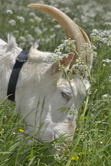 close on a billy goat grazing in a flowering meadow