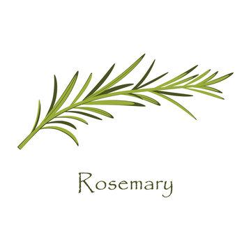 branch of rosemary on white