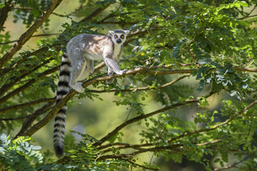Ring-tailed Lemur - Lemur catta, beautiful lemur from Southern Madagascar forests.