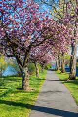 Blossoms Along Lake Washington 4