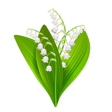 Lilly of the valley isolated on white vector