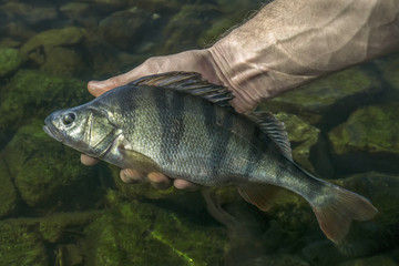 Perch fish trophy in hand of fisherman above water.