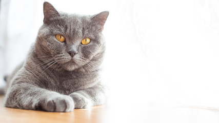 Portrait of a british shorthair cat with expressive orange eyes on window background indoors
