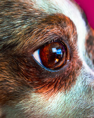 Yeux Chihuahua