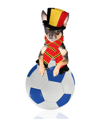 Cute dog play with soccer ball for champion belgium