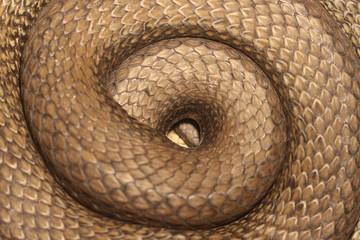closeup of a snake, spiral/geometric shape,golden ratio,scales, ,  ,Malpolon monspessulanus.