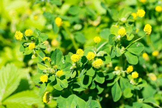 Closeup of Hop Clover (Medicago lupulina) plant