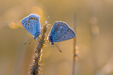 Pair of butterflies sitting on dry grass