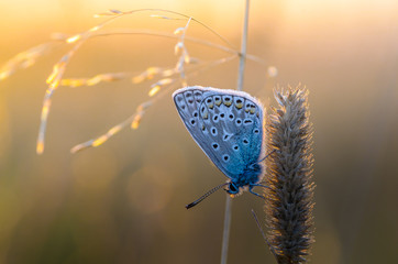 Butterfly azure sits on a dry grass