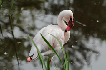 Rosy flamingo waterbird wading in the river