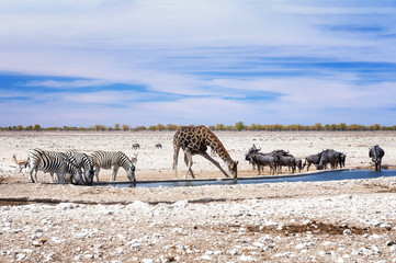 Zebras, giraffe and wildebeests at the water pool in Etosha Park. Etosha is a national park in northwestern Namibia