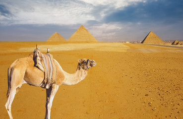 Foreground of a camel against the backdrop of the great pyramids Wall mural