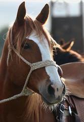 A portrait of a horse.  A close up photo of a horse head.