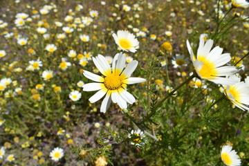 la margarita., la flor más conocida del mundo