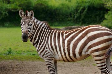 African striped coats zebra
